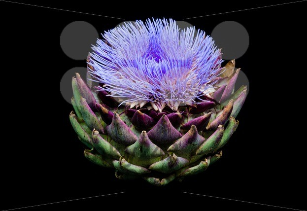 Blooming artichoke on black with clipping path - franky242 photography
