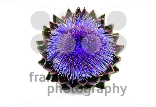 Blooming artichoke on white with clipping path - franky242 photography