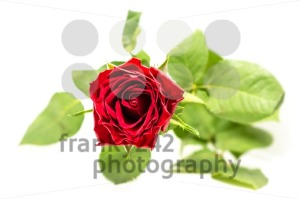 Red rose on white - franky242 photography