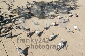 doves in the city - franky242 photography