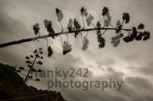 Agave blossom against dramatic cloudy sky - franky242 photography