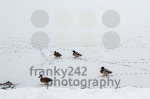 Mallard ducks walking on frozen lake - franky242 photography