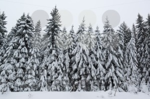 Winter forest covered by snow - franky242 photography