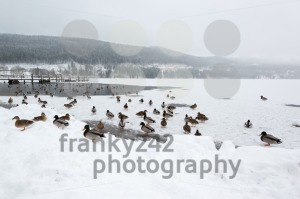 Mallard ducks on frozen lake - franky242 photography