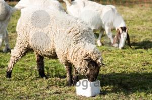 Lamb licking a block of salt - franky242 photography