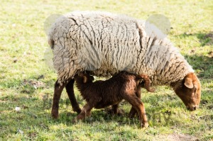 Mother sheep and her lamb  - franky242 photography