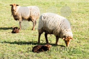Mother sheeps and her lambs - franky242 photography