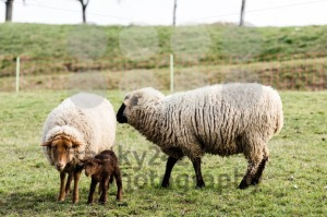 Sheep Family - franky242 photography