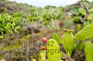 Prickly Pear Cactus  - franky242 photography