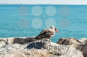 Seagull eating fish - franky242 photography