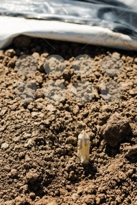 Asparagus head shoots above the soil - franky242 photography