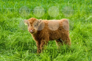 Juvenile Highland Cattle - franky242 photography