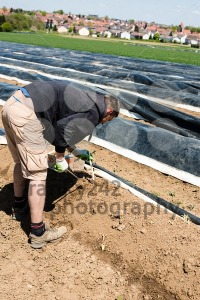 Man picking asparagus on a field - franky242 photography