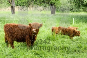 Young Scottish Highland Cows - franky242 photography