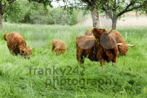 Scottish Highland Cows - franky242 photography