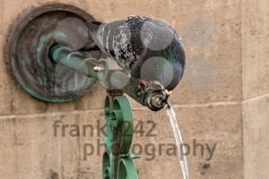 Pigeon Drinking from a Fountain - franky242 photography