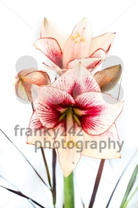 Abstract photo of a white and red amaryllis flower - franky242 photography