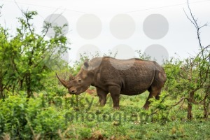 A white rhino grazing in an open field in South Africa - franky242 photography