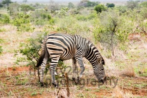 A zebra with alittle bird on its back - franky242 photography