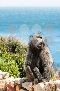 African Baboon showing its teeth - franky242 photography