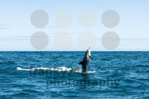 Dolphin shooting straight out of the water - franky242 photography