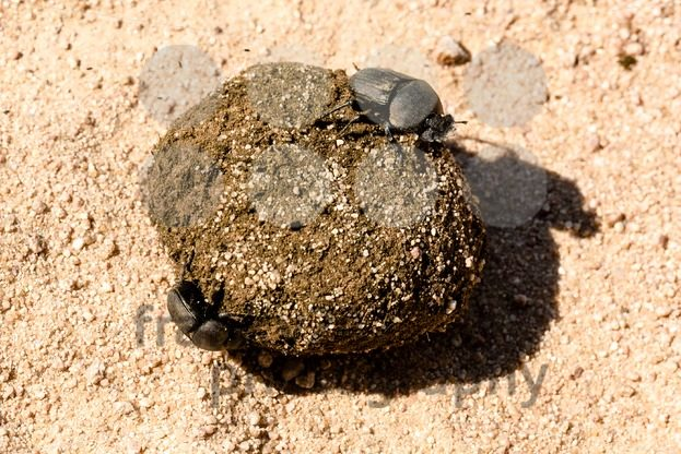 Dung beetles rolling their ball - franky242 photography