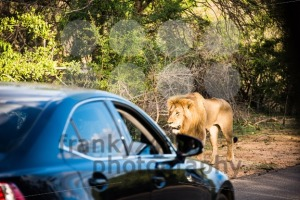 Lion Encounter - franky242 photography