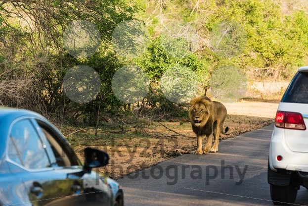Lion sighting in the Kruger National Park - franky242 photography