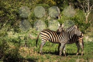 Love between two zebras - franky242 photography