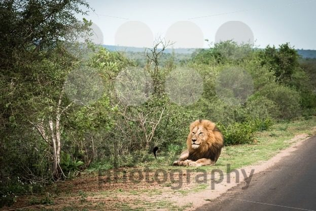 Male African Lion - franky242 photography