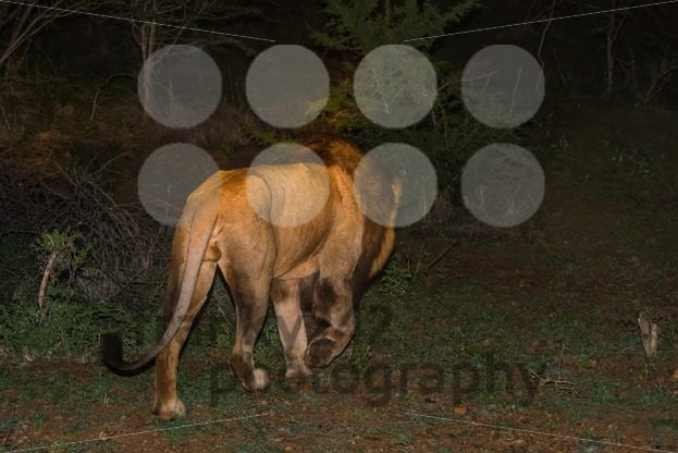 Male African Lion At Night - franky242 photography