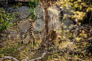 Powerful male leopard - franky242 photography