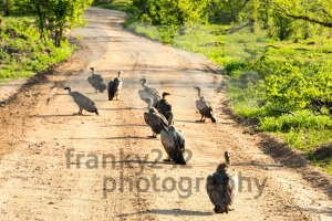 White-backed vultures feeding on carrion - franky242 photography