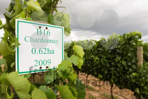 Youung Chardonnay grapes in wineyard - franky242 photography