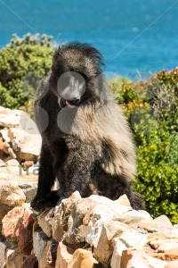 African Baboon showing its tongue - franky242 photography