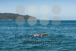 Dolphin family playing close to the coast - franky242 photography