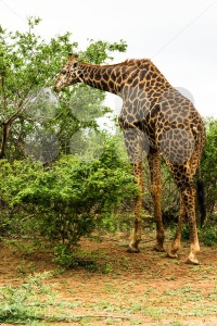 Giraffe grazing in the bush - franky242 photography