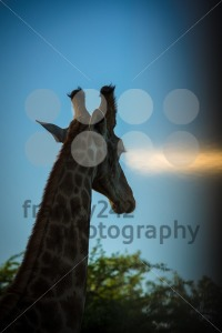 Giraffe head in sunset - franky242 photography