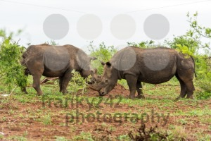 Two white rhinos grazing in an open field in South Africa - franky242 photography