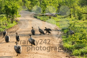 White-backed vultures waiting for carrion - franky242 photography