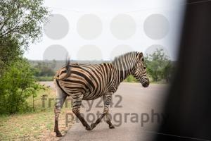 Zebra crossing g - franky242 photography