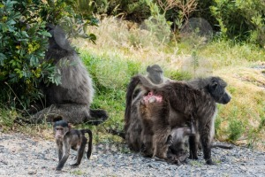 African Baboon family - franky242 photography