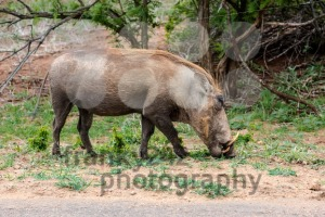 African Warthog (Phacochoerus africanus) - franky242 photography