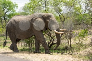 Big elephant feeding from a tree - franky242 photography