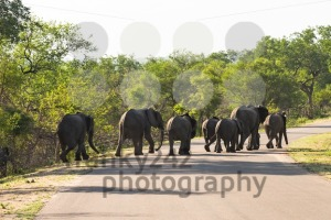 Big group of elephants crossing the road - franky242 photography