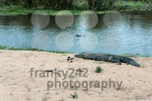 Crocodile on the banks of a river - franky242 photography