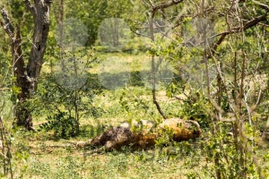 Dying Female African Lion - franky242 photography