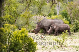 Family of African rhinos - franky242 photography