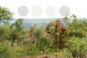 Giraffes feeding in the bush - franky242 photography