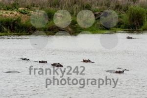 Herd of hippos in a river - franky242 photography